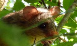 Rata de hocico ferrugineo