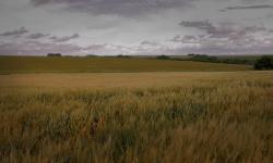 Imagen de cultivo de trigo