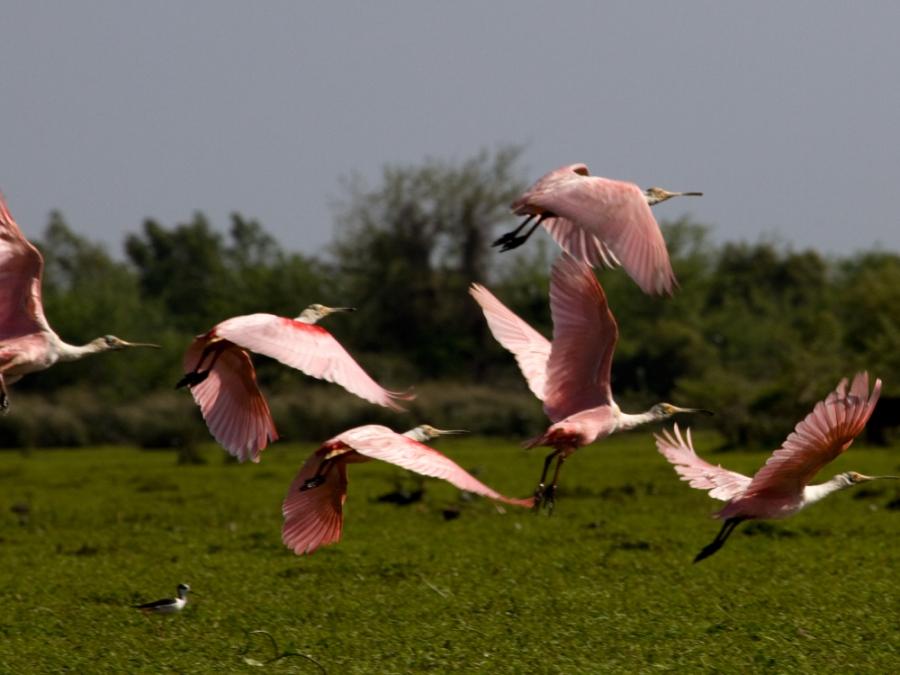Varias garzas rosadas volando