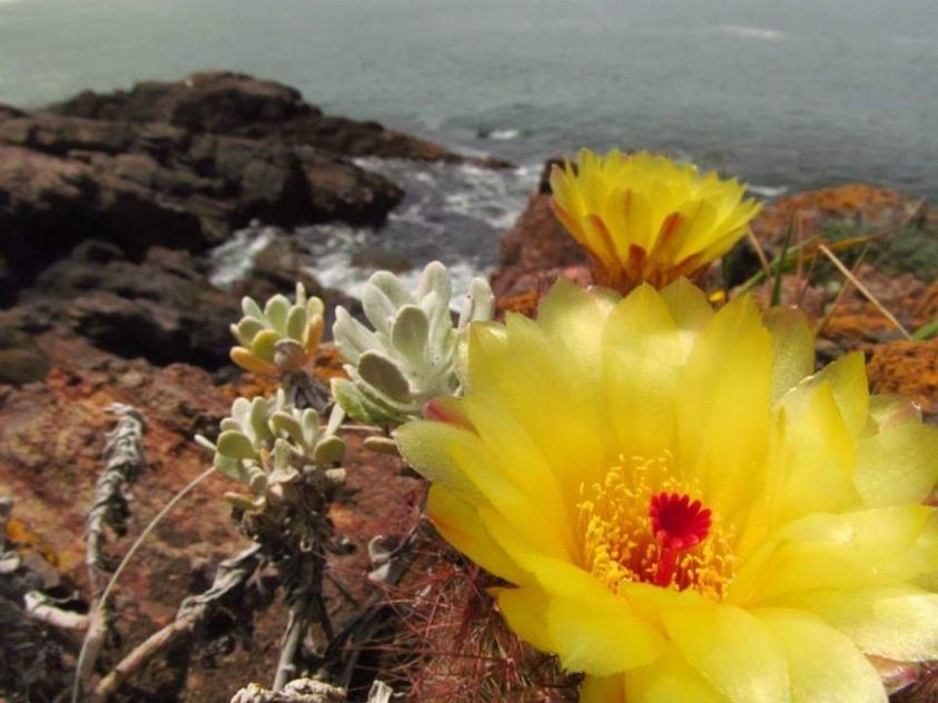 Tuna con flor amarillo sobre las piedras de Casa Pueblo con el mar de fondo